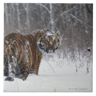 Tigre (Panthera el Tigris) que se coloca en nieve  Azulejo Cuadrado Grande