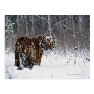 Tigre (Panthera el Tigris) que se coloca en nieve Tarjetas Postales