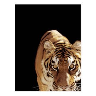 Tigre (Panthera el Tigris) Tarjeta Postal