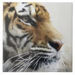 Tigre. Parque zoológico de Asahiyama, Hokkaido, Ja Azulejo Cuadrado Grande