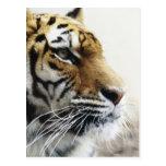 Tigre. Parque zoológico de Asahiyama, Hokkaido, Postales