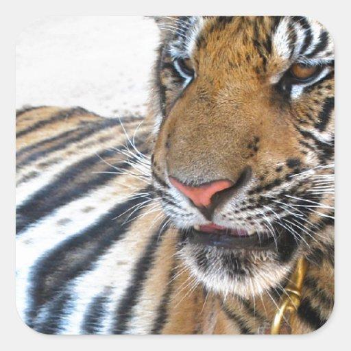 Tigre Pegatina Cuadrada
