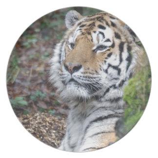 Tigre Plato