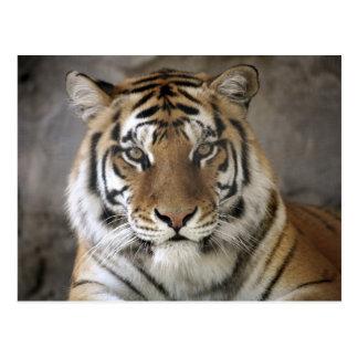 tigre prisionero, santuario del parque zoológico postales