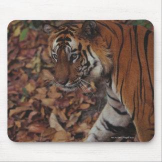 Tigre que camina en las hojas muertas mouse pad