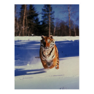 Tigre que compite con sobre nieve postal