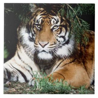 Tigre que goza de la sombra azulejo cuadrado grande