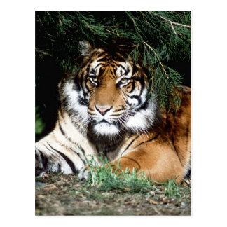 Tigre que goza de la sombra postales