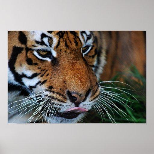 Tigre que lame su poster de los labios