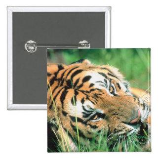 Tigre que miente en hierba pin cuadrado