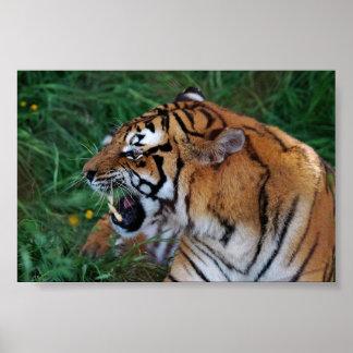 Tigre que muestra su poster de los colmillos