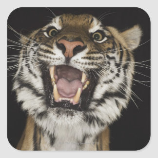 Tigre que ruge 2 pegatina cuadrada