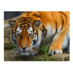 Tigre que se agacha postales