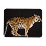 Tigre que se coloca en la plataforma imán rectangular