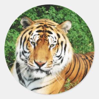 Tigre que se relaja pegatina redonda