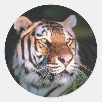 Tigre que se sienta hermoso pegatina redonda