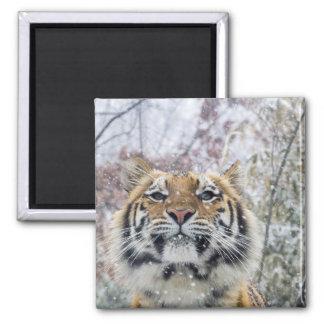 Tigre real en nieve imán cuadrado