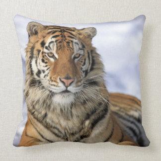 Tigre siberiano, altaica del Tigris del Panthera,  Cojines