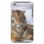 Tigre siberiano, altaica del Tigris del Panthera,  iPod Touch Case-Mate Cárcasas