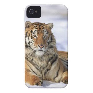 Tigre siberiano, altaica del Tigris del Panthera, Funda Para iPhone 4 De Case-Mate