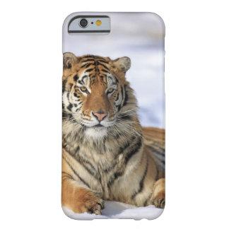 Tigre siberiano, altaica del Tigris del Panthera, Funda Para iPhone 6 Barely There