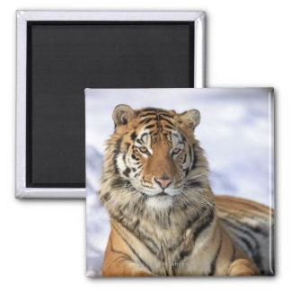 Tigre siberiano, altaica del Tigris del Panthera,  Imán Cuadrado