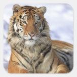 Tigre siberiano, altaica del Tigris del Panthera, Pegatina Cuadrada