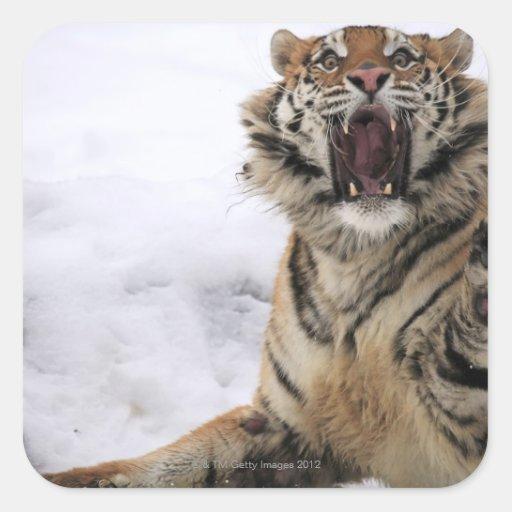 Tigre siberiano (altaica del Tigris del Panthera) Pegatina Cuadrada