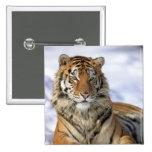 Tigre siberiano, altaica del Tigris del Panthera,  Pin
