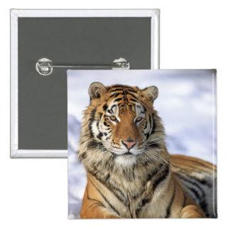 Tigre siberiano, altaica del Tigris del Panthera, Pin Cuadrado