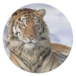 Tigre siberiano, altaica del Tigris del Panthera,  Plato De Cena