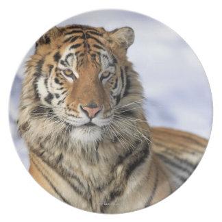 Tigre siberiano, altaica del Tigris del Panthera, Plato Para Fiesta