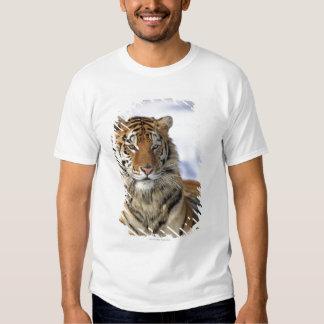 Tigre siberiano, altaica del Tigris del Panthera, Poleras