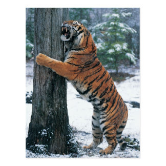 Tigre siberiano (altaica del Tigris del Panthera) Postal