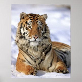 Tigre siberiano, altaica del Tigris del Panthera,  Póster