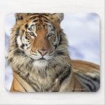 Tigre siberiano, altaica del Tigris del Panthera,  Alfombrilla De Ratón