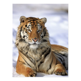 Tigre siberiano, altaica del Tigris del Panthera, Tarjeta Postal