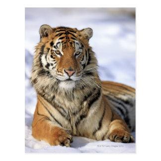 Tigre siberiano, altaica del Tigris del Panthera, Postal