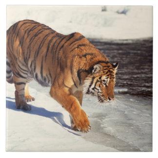 Tigre siberiano azulejo cuadrado grande