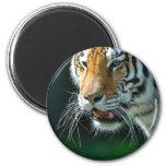 Tigre siberiano (de Amur) Imán Para Frigorifico