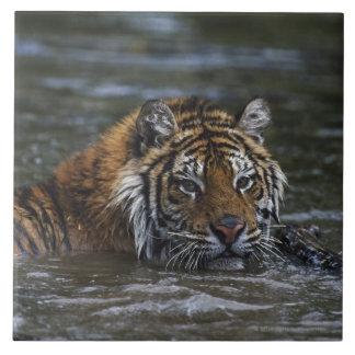 Tigre siberiano en agua azulejo cuadrado grande
