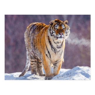 Tigre siberiano en la nieve, China Tarjetas Postales