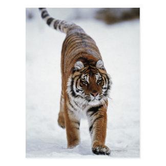 Tigre siberiano en nieve postal