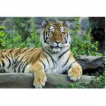 Tigre, siberiano escultura fotografica