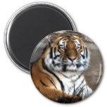 Tigre siberiano iman para frigorífico