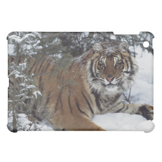 Tigre siberiano (Panthera el Tigris Altaica)