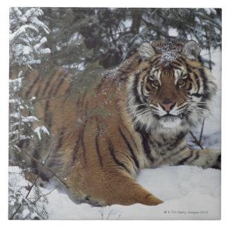 Tigre siberiano (Panthera el Tigris Altaica) Azulejo Cuadrado Grande