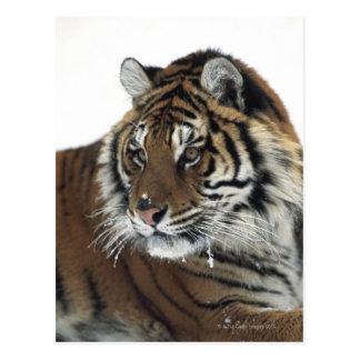 Tigre siberiano (Panthera el Tigris Altaica) Postales