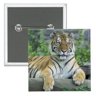 Tigre siberiano pin cuadrada 5 cm