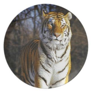 Tigre siberiano plato de cena